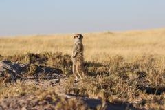 Meerkat che sta su Fotografie Stock Libere da Diritti
