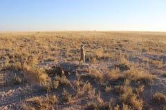 Meerkat che sta su Immagine Stock Libera da Diritti