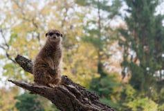 Meerkat che sta su un ramo Immagine Stock Libera da Diritti