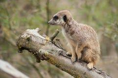 meerkat che sta sul ramo fotografia stock