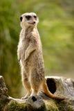 Meerkat che sta sull'albero del ceppo Fotografie Stock Libere da Diritti