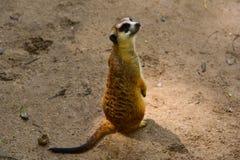 Meerkat che sta sulla sabbia fine Immagine Stock Libera da Diritti