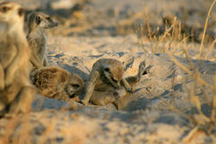 Meerkat checks himself out. A Young meerkat cleans his groin area Stock Photography