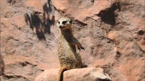 Meerkat in Chile stock footage