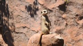 Meerkat in Chile stock video footage