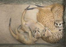 Meerkat ciepła rodzina śpi fotografia royalty free