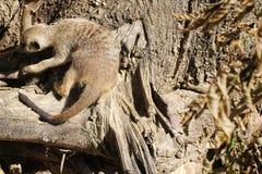 Meerkat climbing a tree. Image of a Meerkat climbing a tree stock images