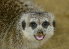 Meerkat Close-up. Head shot of a Meerkat with mouth open showing teeth Stock Photo