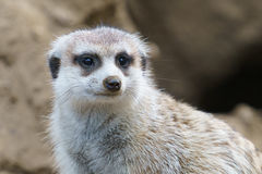 Meerkat Close up. A meerkat animal close up Royalty Free Stock Image