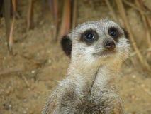 Meerkat 2 Stock Photo