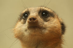 Meerkat close up looking up Royalty Free Stock Image