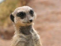 Meerkat close up Royalty Free Stock Photography