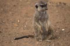 Meerkat. Close-up of Meerkat in Palmitos Park Royalty Free Stock Photography
