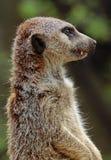 Meerkat close up portrait stock image