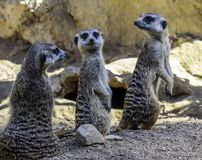 Meerkat close up portrait royalty free stock photos