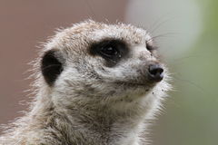 Meerkat Closeup Stock Photography