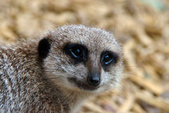 Meerkat closeup Stock Images
