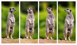 Meerkat collage Stock Photography