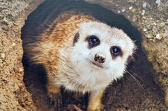 Meerkat coming out of burrow. A cute south African Meerkat coming out of its burrow close up shot of face stock photos