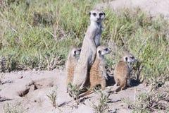 Meerkat con i cubs Fotografie Stock