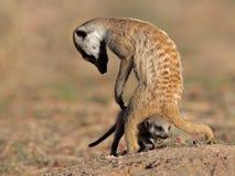 Meerkat con il bambino Fotografia Stock Libera da Diritti