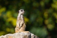 Meerkat con il muso sabbioso su una pietra sedersi su ed elemosinare su un fondo colorato autunnale del bokeh fotografia stock