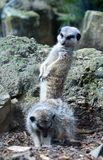 Meerkat con la cabeza dio vuelta a mirar otro meerkat Foto de archivo
