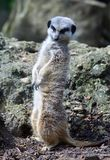 Meerkat con la cabeza dio vuelta a mirar otro meerkat Fotografía de archivo