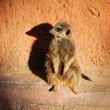 Meerkat con la sombra Fotos de archivo