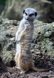 Meerkat con la testa ha girato l'esame deun altro meerkat Fotografia Stock