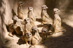 Meerkat conference... A meerkat conference at Adelaide zoo Stock Image