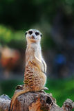 Meerkat confus regardant l'appareil-photo Photo stock