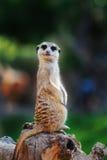 Meerkat confuso que olha a câmera Foto de Stock