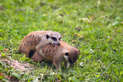 Meerkat copulation scene Royalty Free Stock Photos