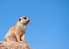 Meerkat with copy space. Stock Photo