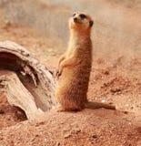 Meerkat coupé la queue mince (suricatta de Suricata) Images libres de droits