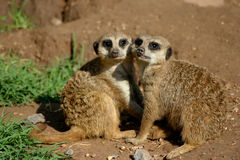 Meerkat couple Stock Photo