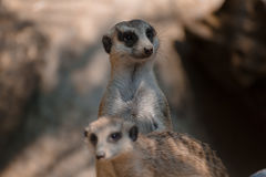 Meerkat. A couple of native-african meerkat.nlittle cute unique animal Stock Photo