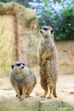 Meerkat couple Royalty Free Stock Photos