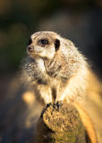 Meerkat Crouched On Log Stock Photo