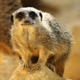 Meerkat. A meerkat crouched upon a small rock royalty free stock image