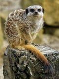 Meerkat in Crouching Pose Royalty Free Stock Photo