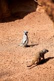 Meerkat crouching on sand and enjoy the summer day Stock Photography
