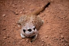 Meerkat crouching on sand and enjoy the summer day Royalty Free Stock Images