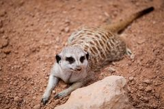 Meerkat crouching on sand at the zoo Royalty Free Stock Images