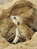 Meerkat Cub. Young Meerkat Exiting his Cave stock photography