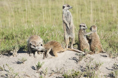 Meerkat with cubs Stock Photography