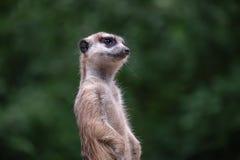 Meerkat curioso Immagini Stock