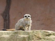 Meerkat curioso Fotografia Stock