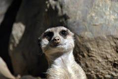 Meerkat curioso que olha a câmera foto de stock royalty free